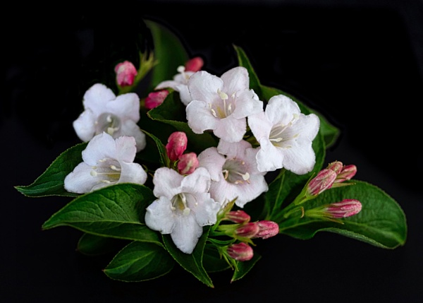 Weigela by adagio