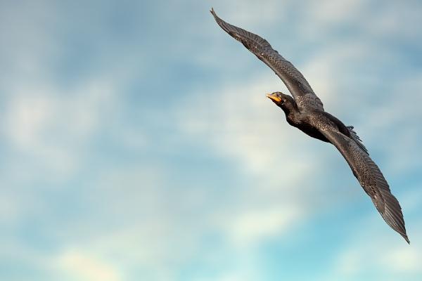 Anhinga in Flight by DBoardman