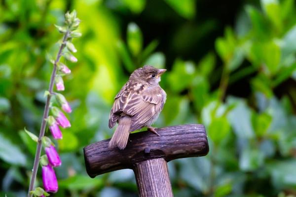 A House Sparrow by xbolt