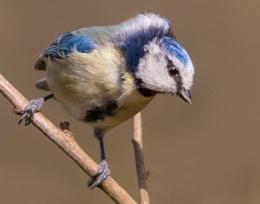 Eagle Eyed Blue Tit