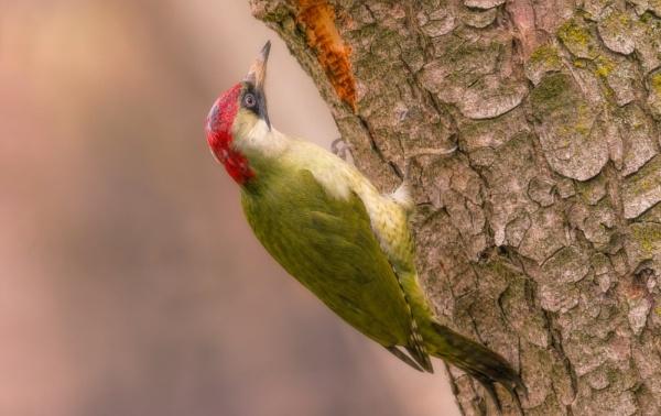 Green woodpecker by Aleksandr_Plekhanov