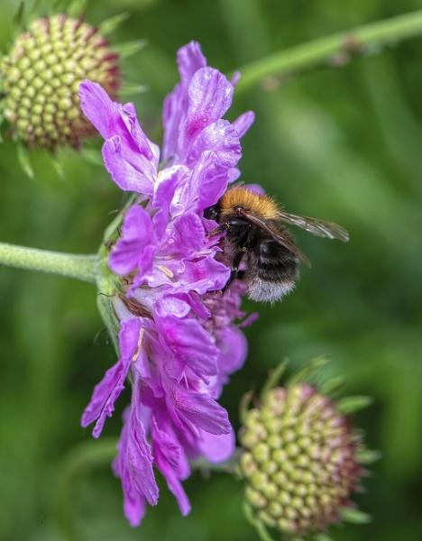 Bombus Hypnorum, Tree Bumble Bee by royd63uk