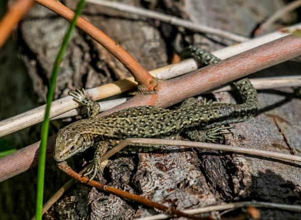 lizard by madbob