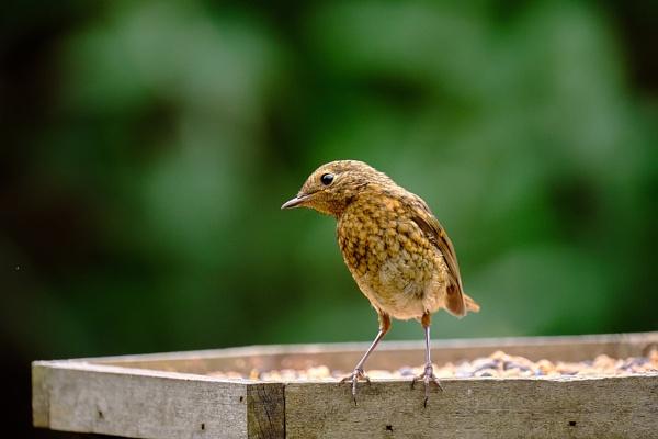 Juvenile Robin by photographerjoe
