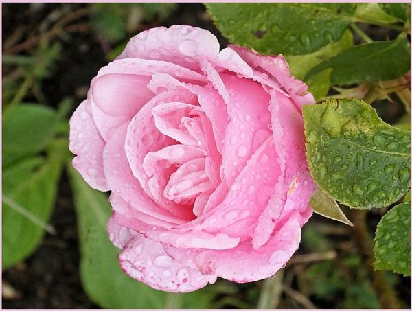 ** Rain Roses ** by Rock