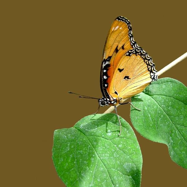 Monarch Butterfly by pamelajean
