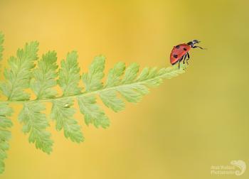 Ladybird on fern
