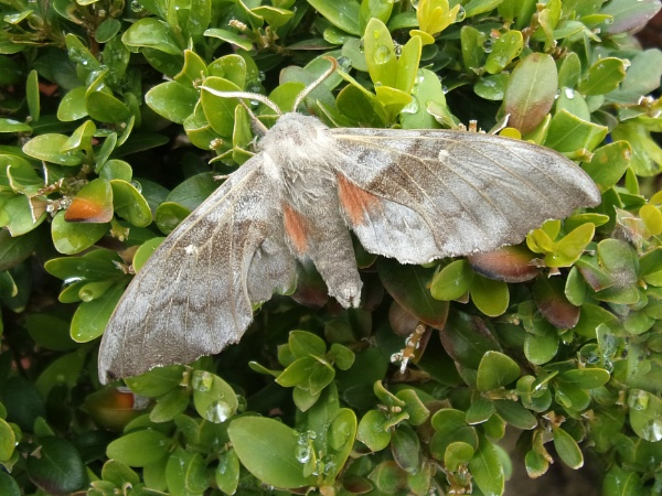 Poplar hawk moth by TonyDy