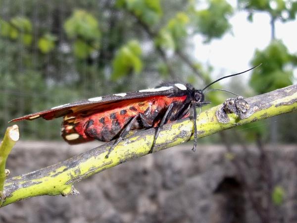Cream Spot Tiger Moth by TonyDy