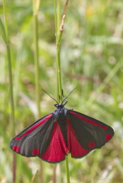 Cinnabar Moth by Alan_Baseley