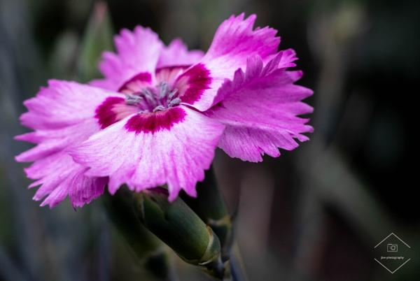 Dianthus by Jodyw17