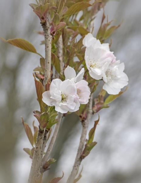 Blossom by CaroleS