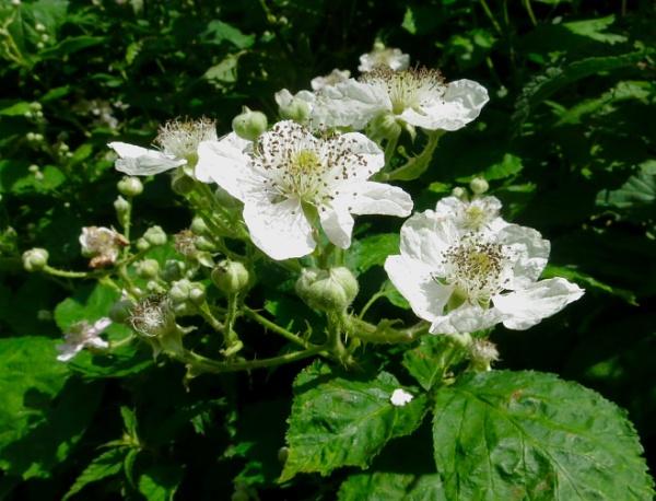 Brambles in flower by derekp