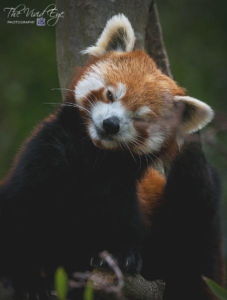 Red Panda by MartinWait
