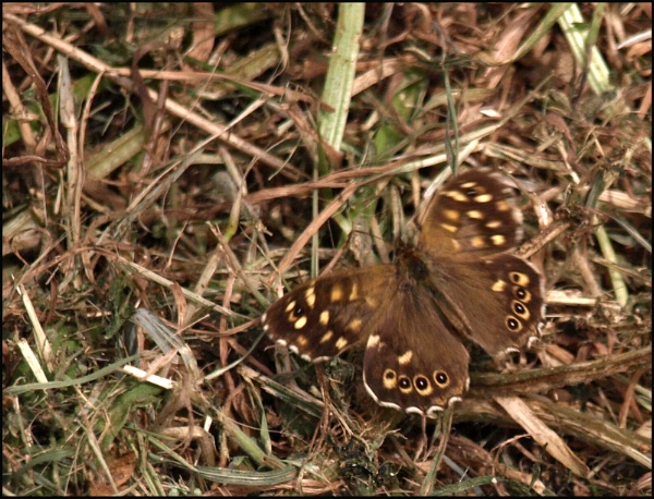 Unusual - Speckled Wood - Butterfly by JuBarney