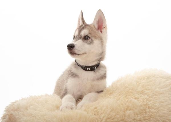 Siberian Husky Pup by MossyOak