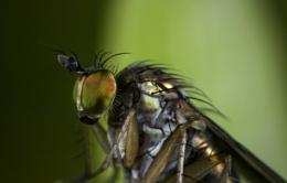 Dolichopodidae.