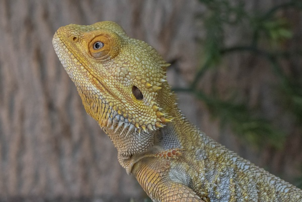 Bearded dragon by Danuk