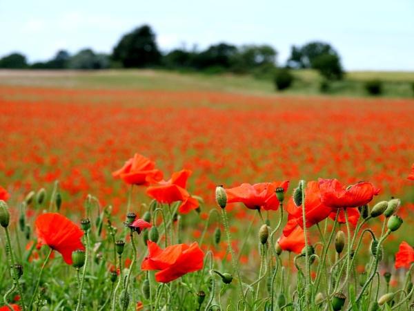 Poppies by DerekHollis