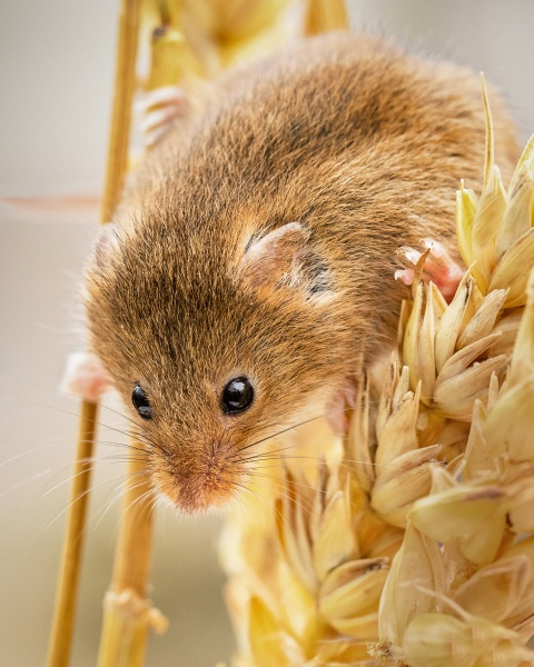 Harvest Mouse on Wheat by Les_Cornwell