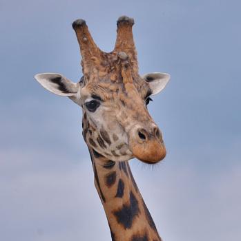 giraff yorks wild life park.