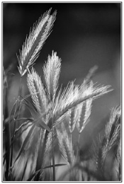 Photo : Wall Barley