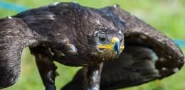 Mongolian raptor