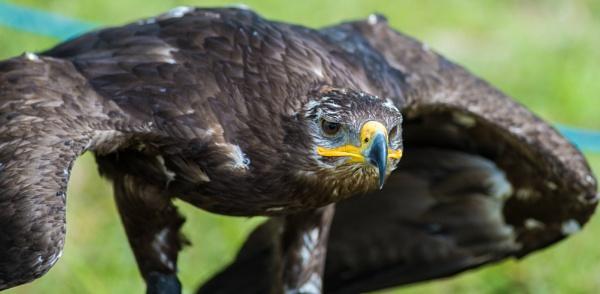 Mongolian raptor by Sagramor