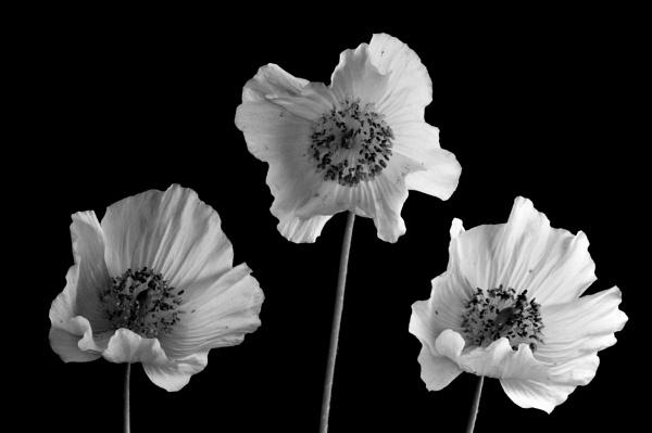 Trio by WilliamEdward