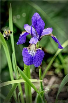Iris at Chatelherault Herb Garden.