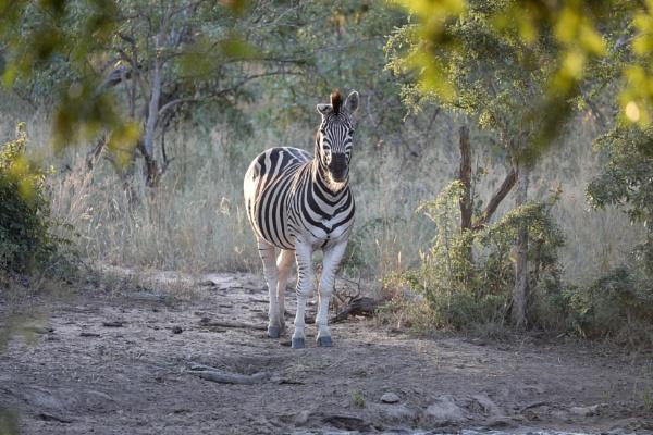Zebra at waterhole by timmiller