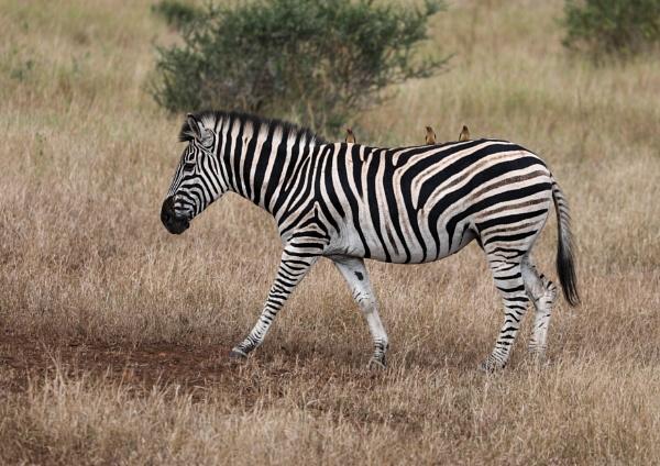 Zebra giving a ride to Oxpecker birds by timmiller