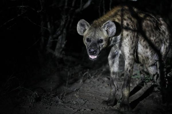 Hyena at night by timmiller