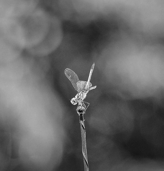 Dragonfly by gypsylenz