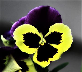 Bright,Colorful and Awesome Looking Pansy.  Like Me. ))