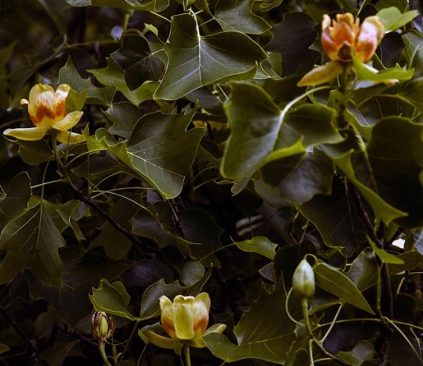 Tulip tree in bloom by Janetdinah