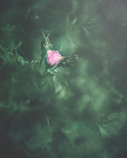 ...wild rose by KristinaZvinakeviciute
