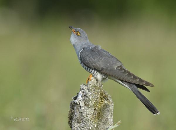 Cuckoo ! Cuckoo ! by KBan
