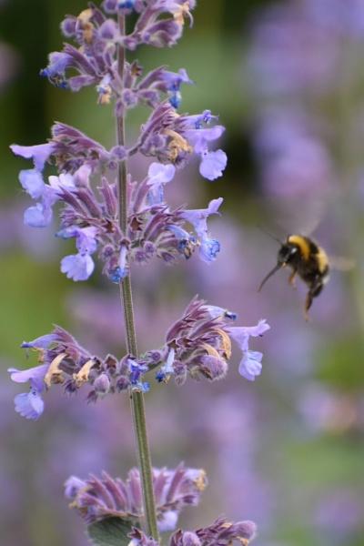 Bee in flight by ChrisB73