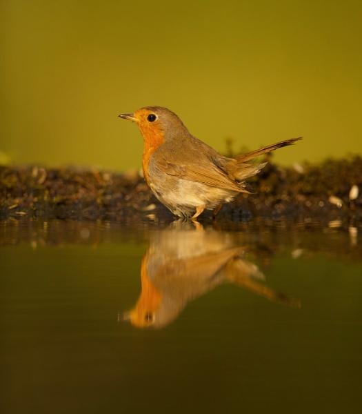Robin reflection by edward_payne_photography
