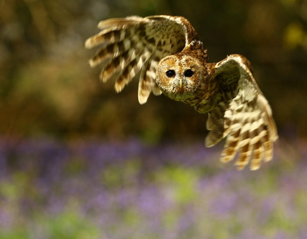 Tawny Owl by edward_payne_photography