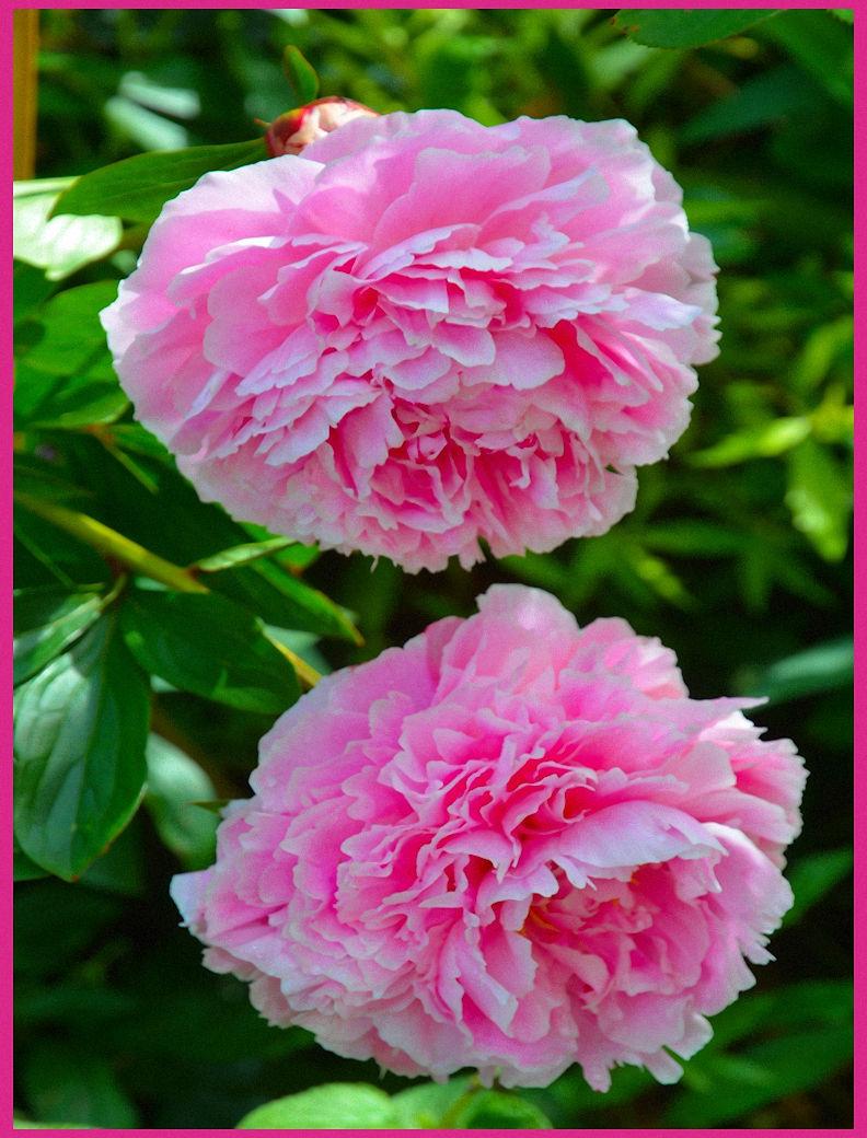 ** Pink Peony **