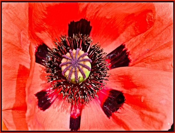 ** Oriental Poppy ** by Rock