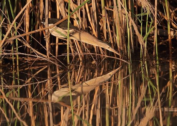 Little Bittern Hunting by NeilSchofield
