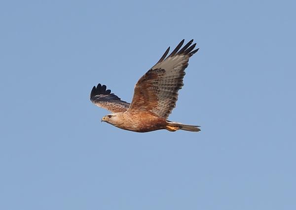 Long Legged Buzzard in Flight by NeilSchofield