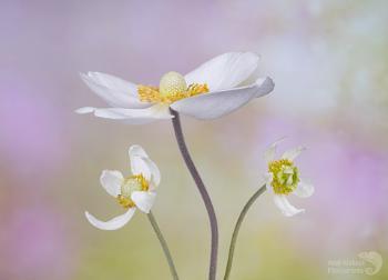 Anemone silvaticus
