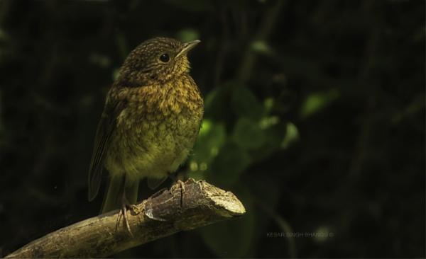 Robin Juvenile. by Jat_Riski