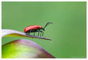 Lily Beetle (Lilioceris Lilii)