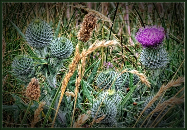 Thistles in the grass by PhilT2