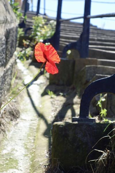 Lonesome Poppy by raywalker